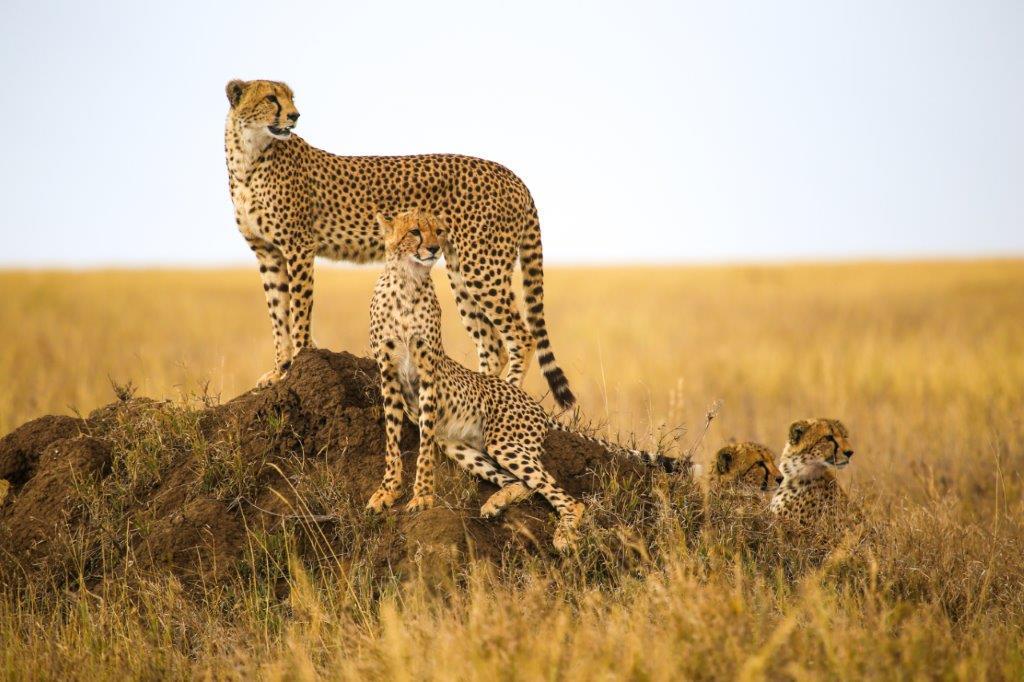 Safaris en 4x4 dans les parcs nationaux - extension balnéaire sur l'île de Zanzibar